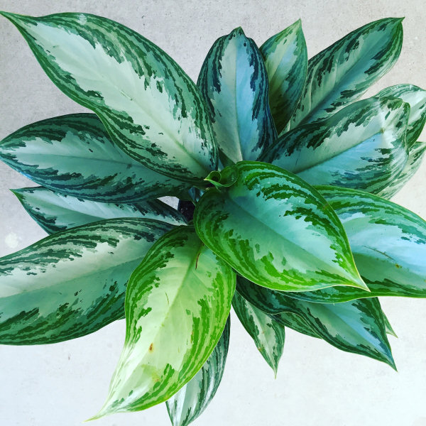Low Light Houseplants | Good Earth Garden Center and Landscaping on low desert plants, low garden plants, low growing plants for front of house, low floral plants, low mountain plants, low water plants, low sun plants, low light plants, low butterfly plants, low light palm trees,